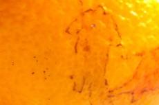 BREADWINNER, excerpt of book , drawings on fruits